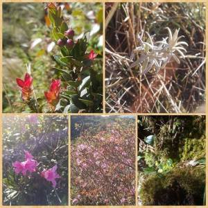 Some of the flora at Mt. Pulag. Top left is the bugnay berries, or bignay in my Tagalog dialect. Top right must be a dried dwarf bamboo, I guess. Below are some pretty flowers I haven't seen